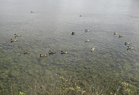 猪苗代湖のカモ
