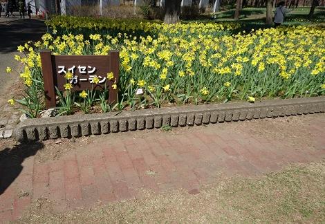 ひたち海浜公園の早咲きスイセン