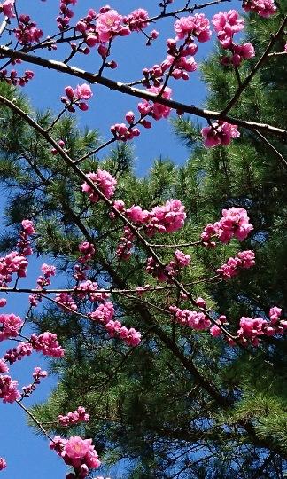 ひたち海浜公園の梅の木