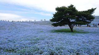 ひたち海浜公園のブルーのネモフィラ畑を堪能