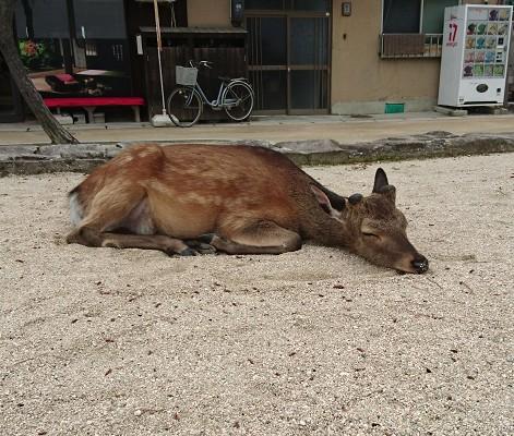 宮島にいた寝ている鹿