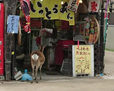 宮島にいたお店を覗いている鹿をアップ