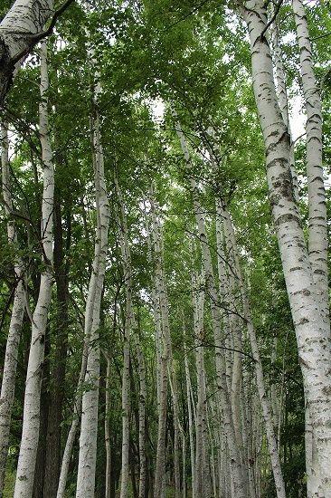 拓真館の白樺の木