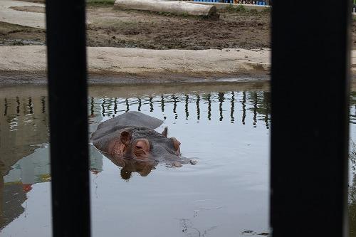 旭山動物園のかば
