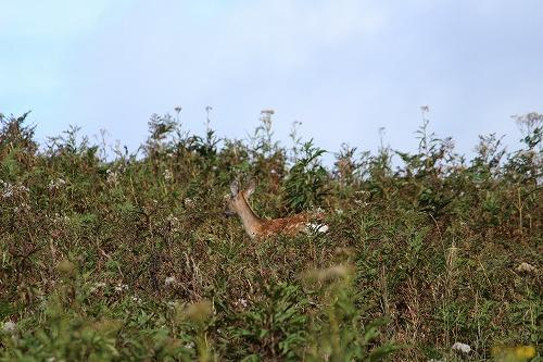 知床の野生の鹿