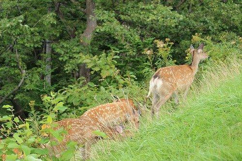 知床にいた鹿