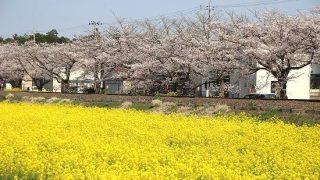 【栃木県真岡市】菜の花と桜とSLが一緒に見れる場所で花の写真を撮ってきました