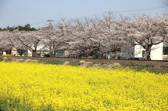 真岡市の菜の花と桜