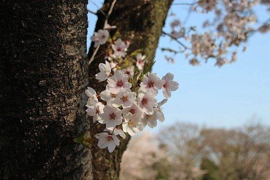 2017年4/14の桜