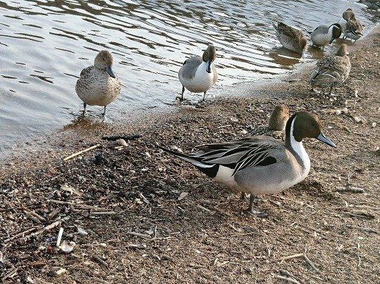 猪苗代湖 長浜 たくさんのカモ達